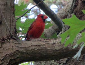 roter Kardinal